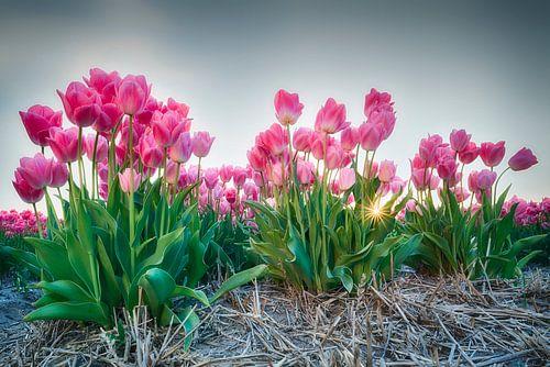 Zonsondergang tussen de tulpen