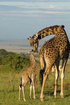 L'amour maternel, une girafe avec son veau au Masai Mara au Kenya.