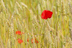 Klaprozen in veld van tarwe