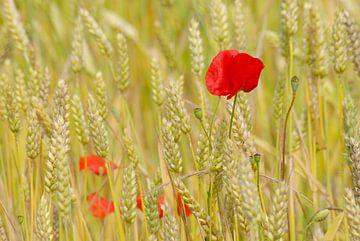 Klaprozen in veld van tarwe van Margreet Frowijn