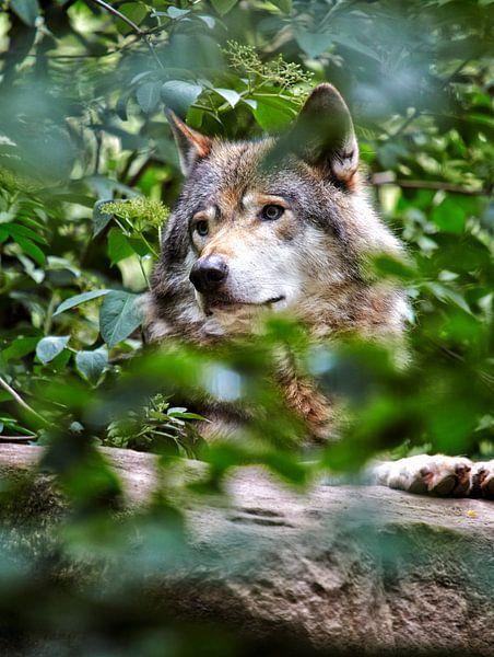 wolf in het bos van Giovanni de Deugd