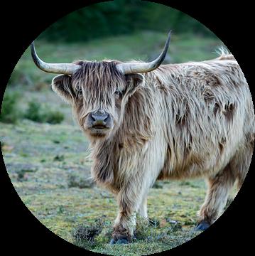 Schotse hooglander op de hei van gea strucks