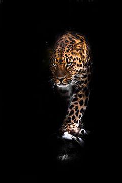 Il regarde vicieusement et s'avance. Léopard isolé sur un fond noir. Beau gros chat sauvage dans l'o sur Michael Semenov