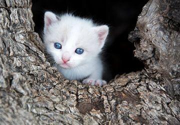 Kitten poesje in boom holte van Marcel van Balken