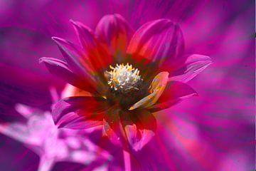 Bunt , blühende  Dahlie,abstrakt,Blume von Torsten Krüger