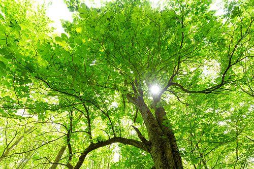 Grüner Baumwipfel mit Sonne