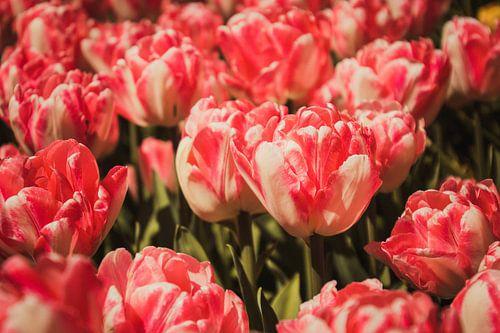 Een veld met roze tulpen