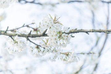 Fleur de cerisier de printemps White Bokeh sur Coby Zwartbol