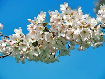Sakura (Japanische Kirschblüte) von Eduard Lamping