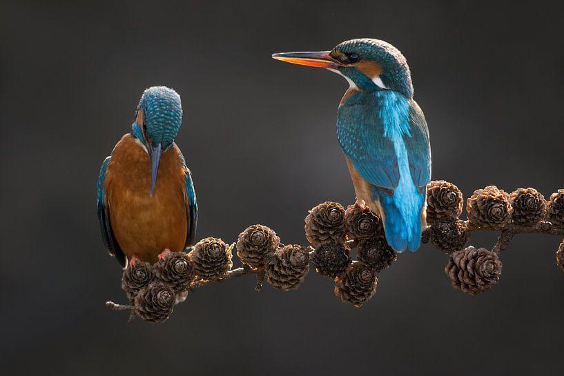 Paar Eisvögel auf Fichtenzweig im Wurf von Jeroen Stel