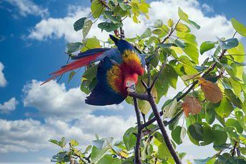 Ein Ara im Regenwald von Costa Rica von Tilo Grellmann | Photography