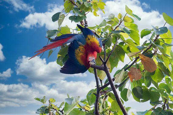 Ein Ara im Regenwald von Costa Rica