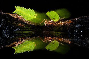 Fourmis coupe-feuilles marchant dans la jungle sur AGAMI Photo Agency