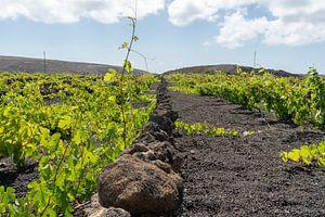 Wijndruiven in Lanzarote van