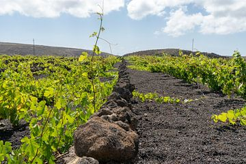Wijndruiven in Lanzarote van Andrew Chang