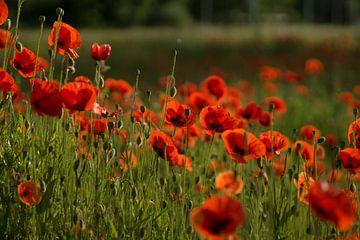 Ein Feld voller Mohnblumen von Birgitte Bergman
