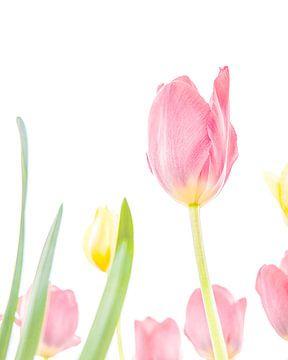 Tulpen von Nicky Kapel