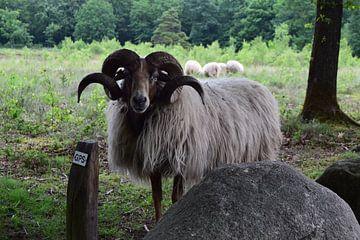 Schaf von Ilona Hartman