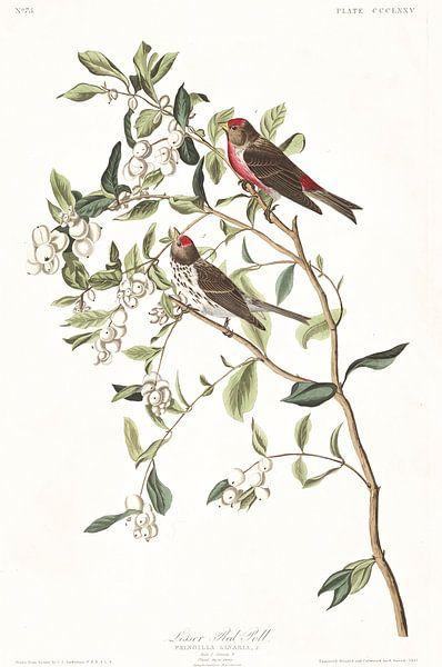 Barmsijs van Birds of America