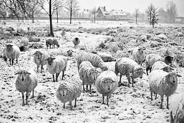 Schapen in de sneeuw (zwart-wit) van