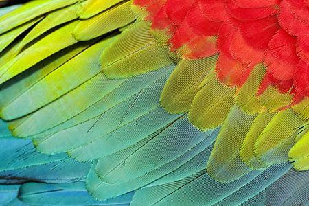 Buntes Detail eines Rot-und-grünen Macawflügels.