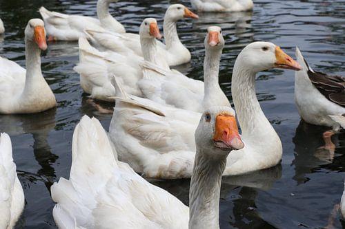ganzen in het water piushaven tilburg