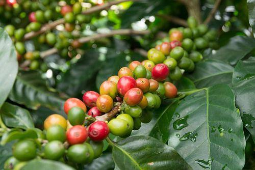 Koffieplant met koffiebonen in groen, oranje en rood
