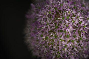 Allium Giganteum van Wim van de Water