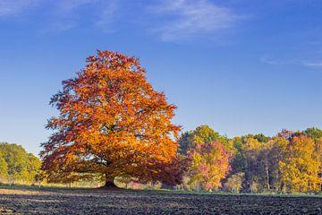 Rode beuk in  volle herfstkleuren van Heleen van de Ven
