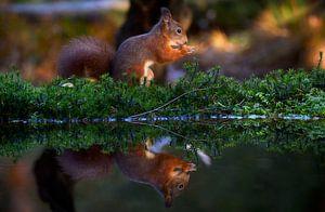 Eekhoorn in het avondlicht van