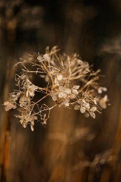 Gedroogde hortensia van Lindy Schenk-Smit