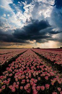 Tulpenveld in de Flevopolder