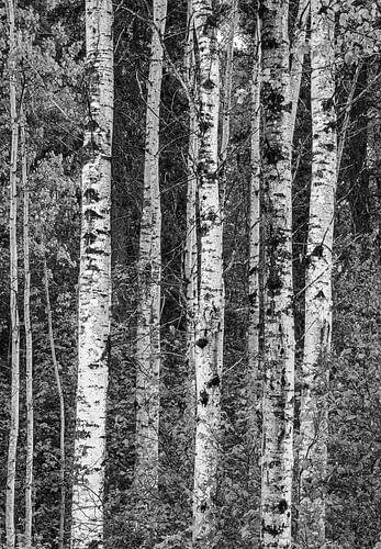 Berkenbomen in het bos, Canada