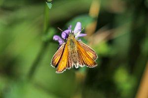 Mattscheckiger Braun-Dickkopffalter auf einer violetten Blüte von Reiner Conrad