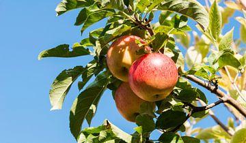 three fresh elstar apples van ChrisWillemsen