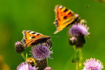 Vlinders op de distel
