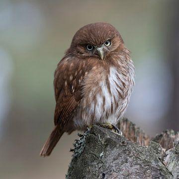 just funny... Ferruginous Pygmy Owl *Glaucidium brasilianum* van