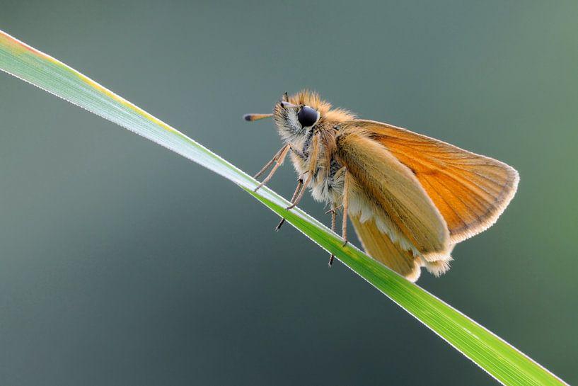 Essex Skipper ( Thymelicus lineola ) resting on a blade of grass van wunderbare Erde