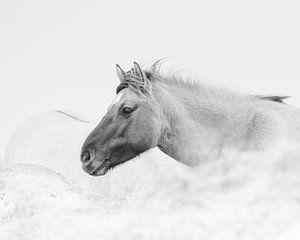 konikspaarden in zwartwit van
