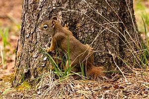 Squirl in dekking