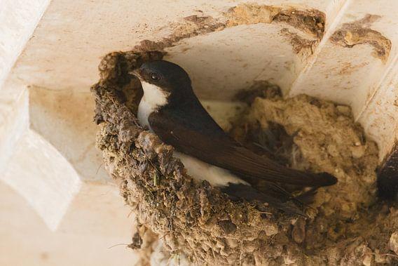 Boerenzwaluw bouwt een nest