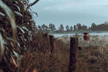 Schotse hooglander naar veld met mais van Danai Kox Kanters