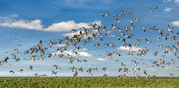 Een vlucht ganzen boven het natuurgebied De Wadden van
