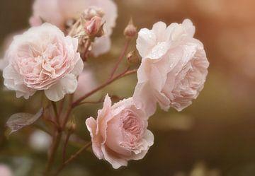 Rosa Rosen im Sonnenlicht von Anam Nàdar