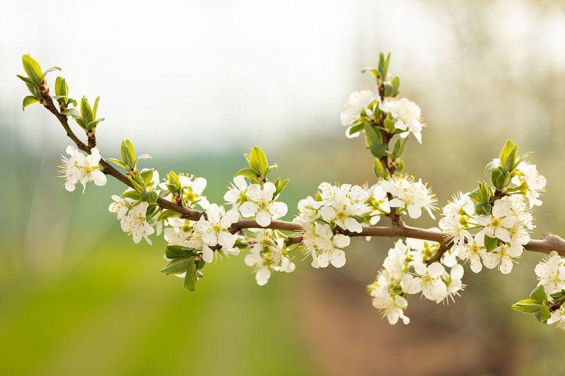Een tak bloesem van de zoete pruim van Marijke van Eijkeren