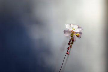 frele bloem van