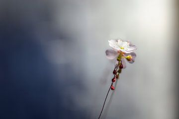frele bloem van Kristof Ven