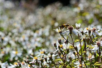 Eine kleine Schwebefliege auf den Blumen von Gerard de Zwaan