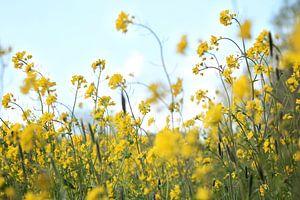 Weide vol gele bloemen