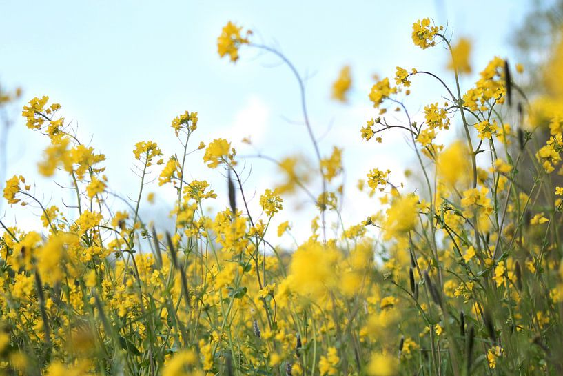 Weide vol gele bloemen van Fleur Halkema